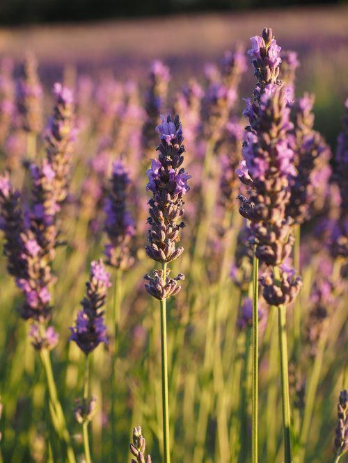 lavender field lavender evening sun