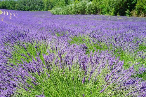 lavender field flowers purple