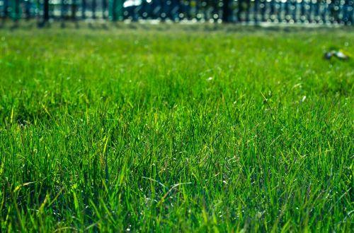 lawn grass green