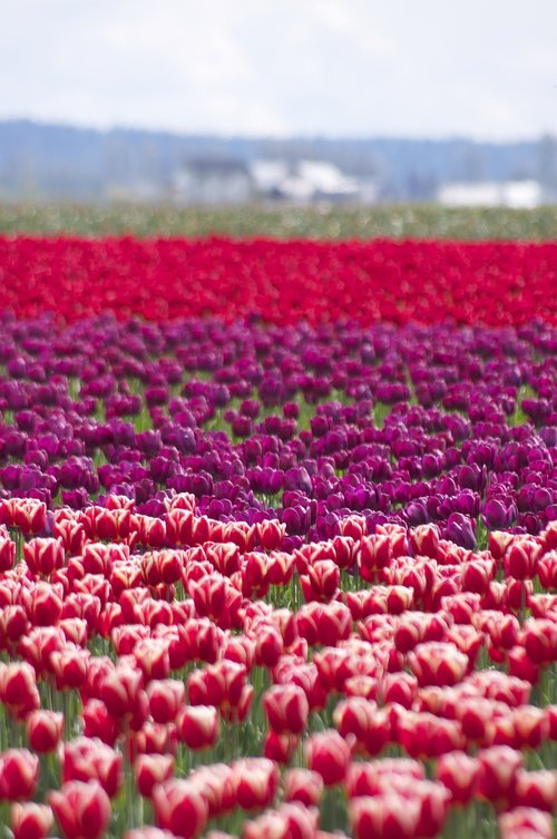 layers  tulips  spring