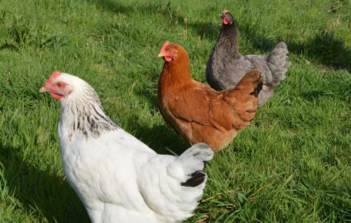 laying hens white hen sussex red hen