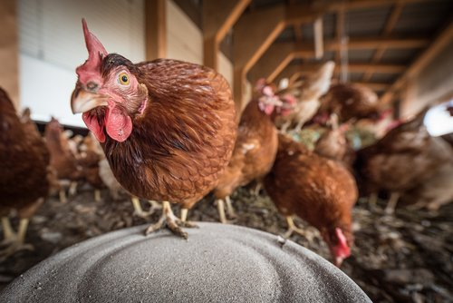 laying hens  hen  poultry