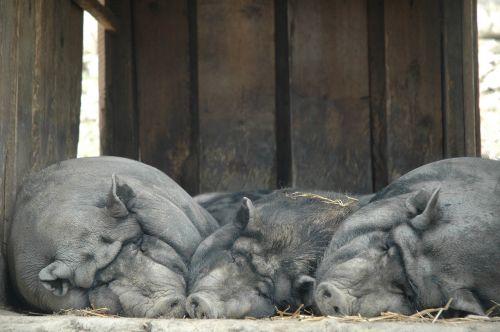 lazy sow pig