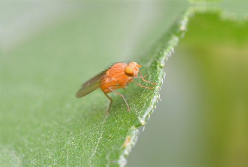 lazy fly fly fly orange