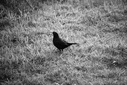 Blackbird In The Meadows