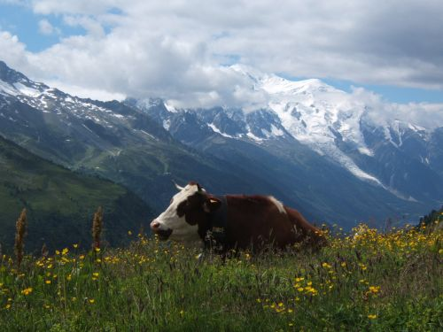 The Tour To Mont Blanc (Cow)
