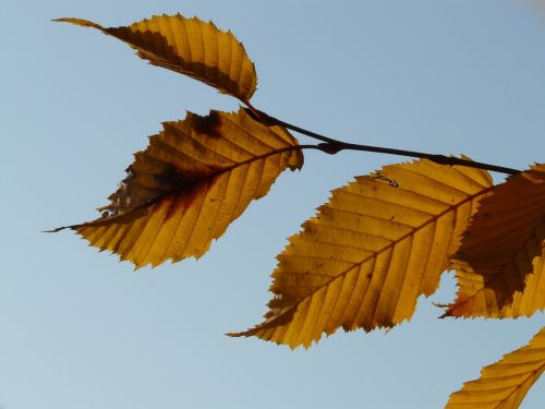leaf leaves autumn