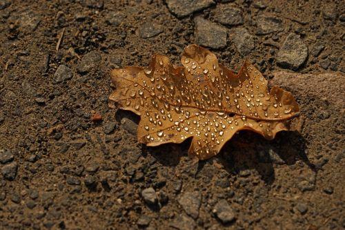 leaf dew drip