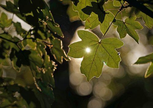 lapai,žalias,atgal šviesa,žalias lapas,augalas