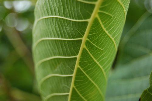lapai,žalias,gamta,žalias lapas,augalai,rasa,flora,lapija,figos,miškas,išsamiai