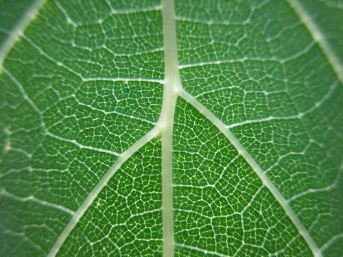 lapai,gamta,žalias,venos,makro