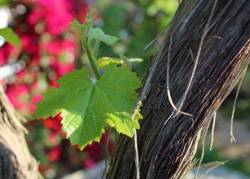 leaf grape vine