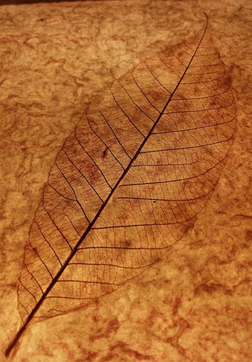 leaf leaf skeleton leaf veins