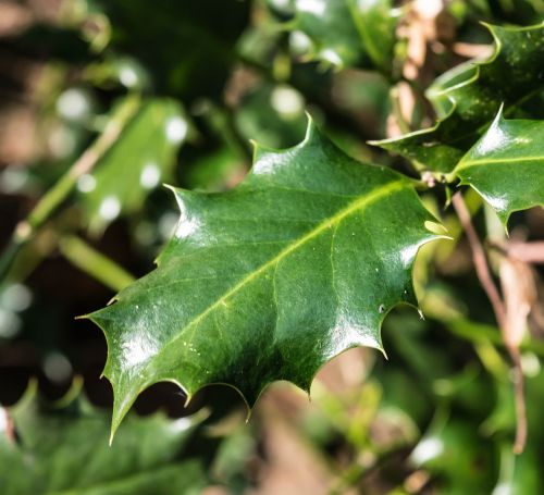 leaf holly spiny