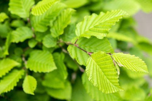 leaf spring hazelnut