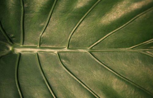lapai,venos,gamta,lapija,augalas