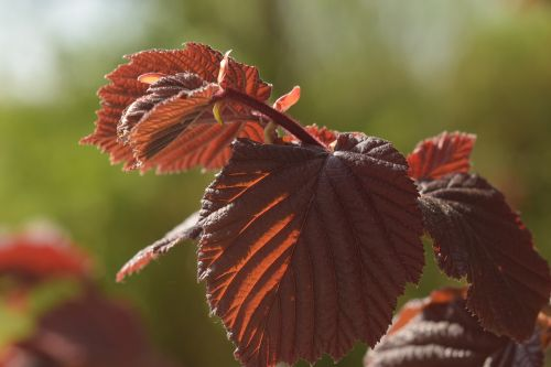 leaf,red,beech,leaves,red leaf,nature,bright,bush,plant,garden,color,tree