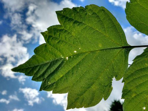 leaf veins rip