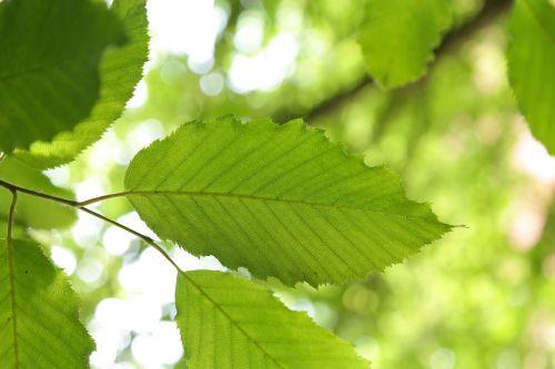 leaf hornbeam tree