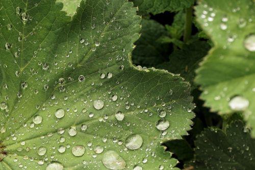 lapai,vanduo,rasa,lašelinė,žalias,žalias lapas,liūtys,augalas,gamta,lietus