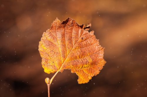 leaf brown individually