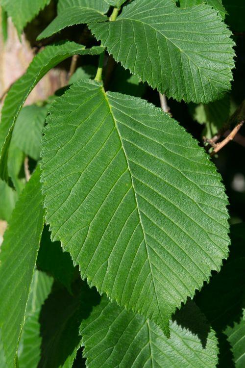 lapai,žalias,elnias,kabantis kumštis,žalias lapas,gamta,Uždaryti,lapo struktūra,lapų žarnos