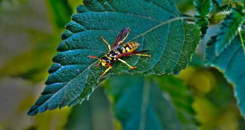 leaf wasp insect