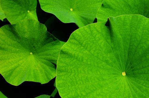 giant leaf lotus lotus leaf