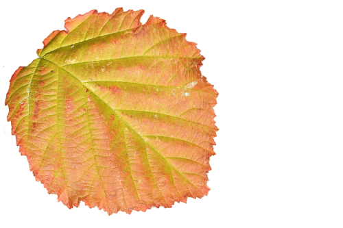leaf colorful leaf autumn