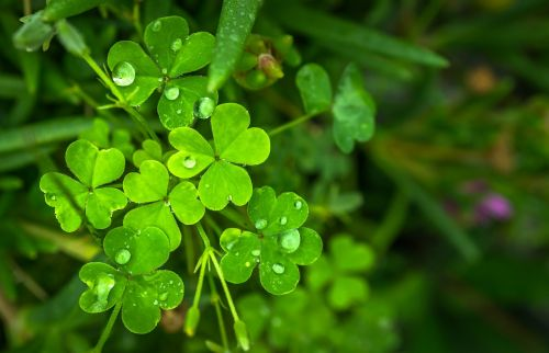 lapai,gamta,žalias,abstraktus,augalai,sūkurys,rasa,žolė,šaukštas,dobilas,sėkmės,rytas,baseinas