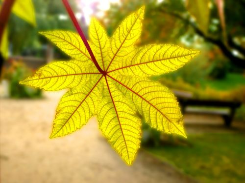 leaf gourd wonder tree