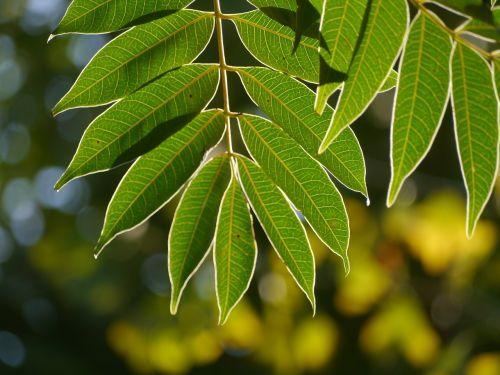 leaf branch vein
