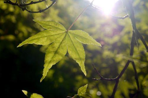 lapai,klevas,saulė,šviesa,žalias,vasara,pavasaris,medis,lapija,kritimas,tranlucide,skaidrus,šviesos spindulys,dienos šviesa,saulės šviesa,miškas,gamta,augalas,laukas,terroir,kontrastas,prieš šviesą,aurora,saulėtekis