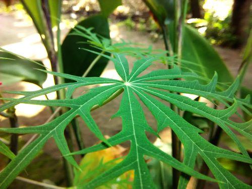 green leaf herbal jatropha multifida l