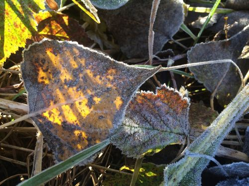 leaf frost autumn