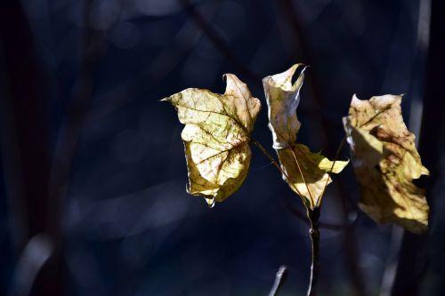 leaf autumn golden autumn