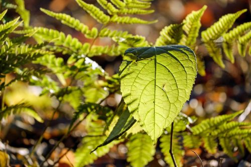 lapai,atgal šviesa,Uždaryti,lapų sistema,žalias,saulė,Bokeh,papartis,nuotaika,šviesa,miškas,gamta