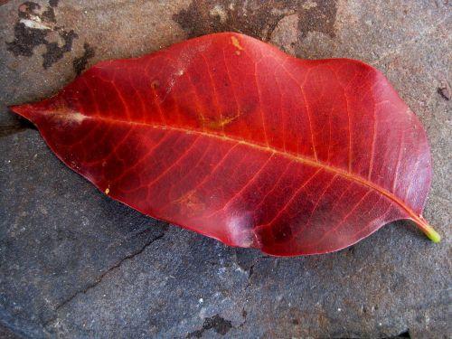 leaf single red