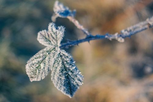 leaf frost winter