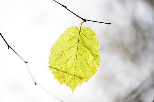 leaf hazel hazel leaf