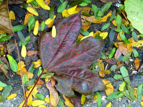leaf maple colorful