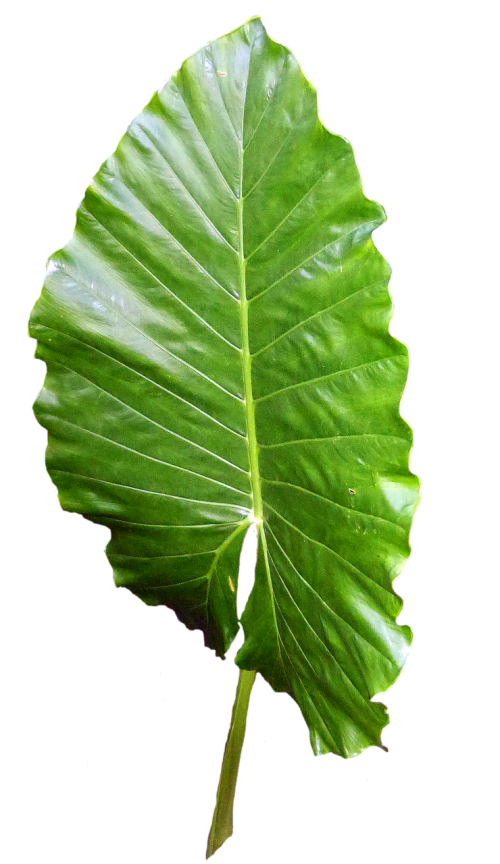 leaf green leaves