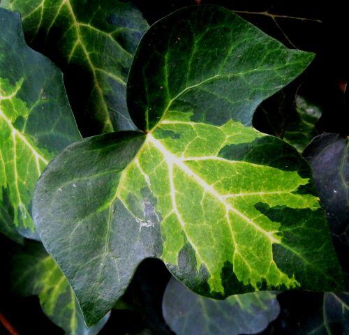 leaf ivy lobed