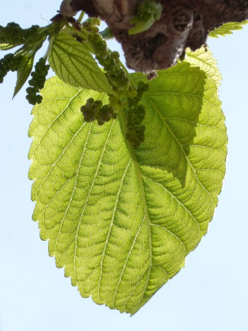 leaf outbreak mulberry