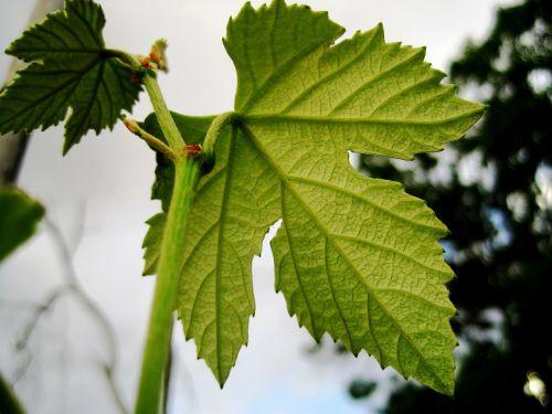 leaf vine grape