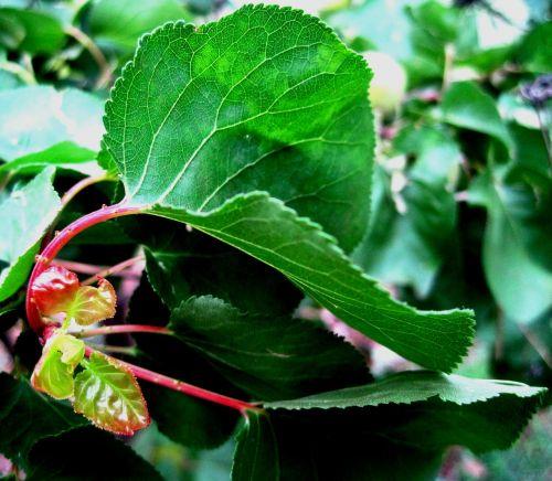 leaf green veined