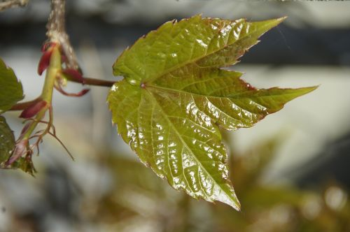 leaf spring frisch
