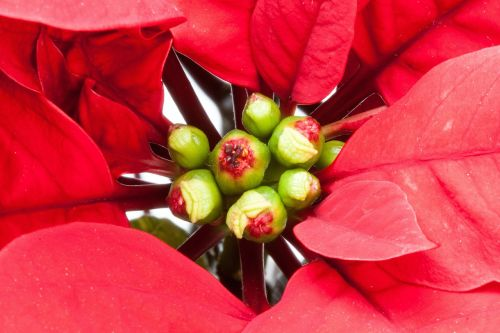 leaf red poinsettia