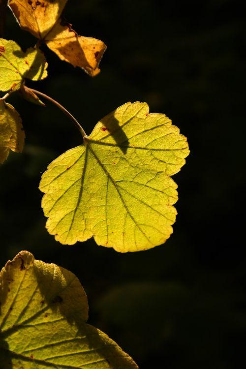 leaf back light bright