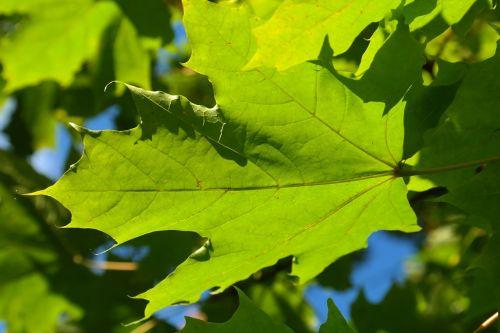 leaf green maple